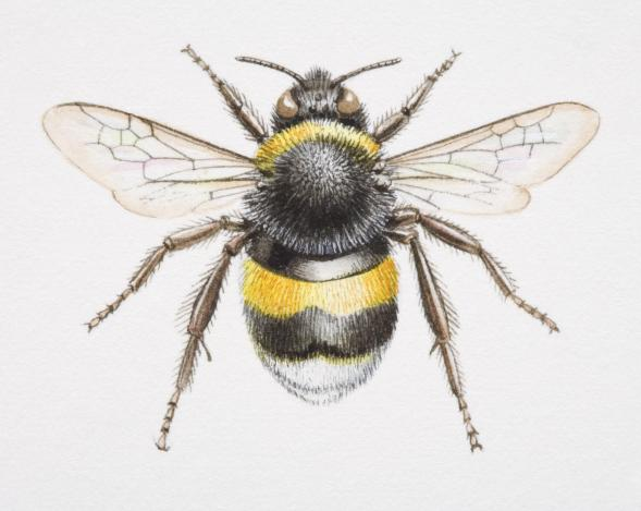 Bombus, bumble bee, front view.