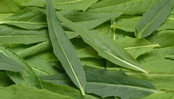 Ruccola. Ruca. Turkish Warty Cabbage. Salad. Gardenplant. Medicinal Plant. Bunias Orientalis