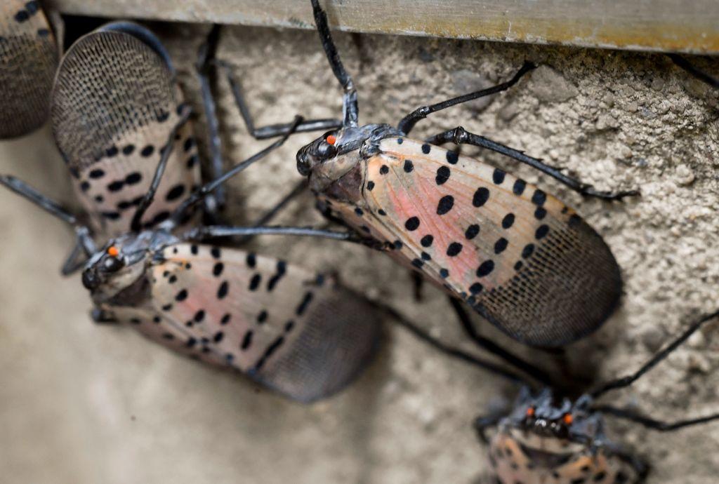 Philly Lanternfly infestation