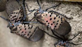 Philly Lanternfly infestation